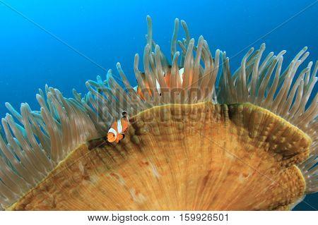 Clownfish anemonefish fish in sea anemone