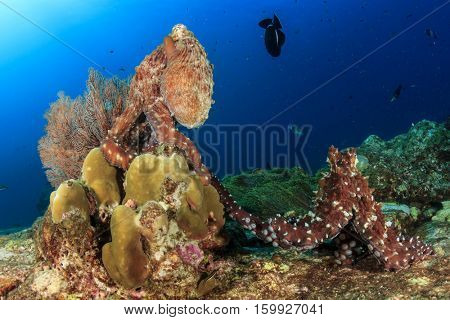 Pair of Reef Octopus mating