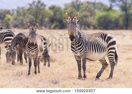 Cape Mountain Zebra, South Africa