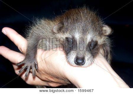 Rescued Baby Raccoon