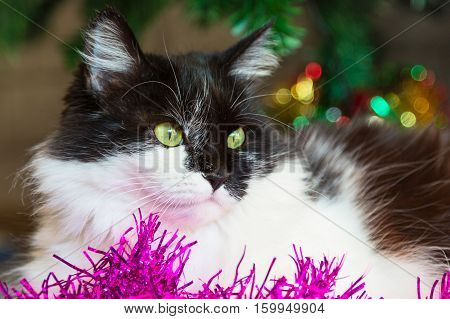 Black and white cat with green eyes lying near Christmas decorations and new year tree