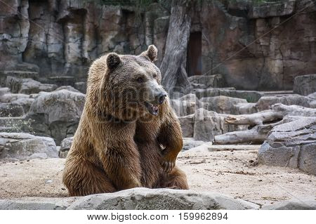The sad brown bear is sitting in the forest
