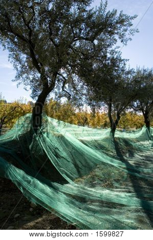 Harvest Of Olives