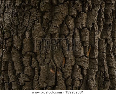 brown bark of a tree a 300-year old oak close-up