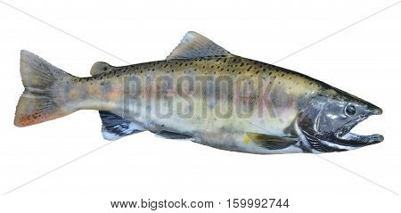 A close up of the small freshwater salmon. Isolated on white.
