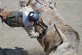 picture of brahma-bull  - Bull Rider hanging onto bull while he is being bucked off - JPG