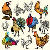 picture of turkey-cock  - A set of 6 vector illustrations of birds - JPG