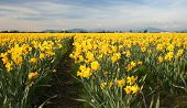 Field Of Yellow Daffodils