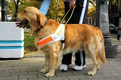 foto of seeing eye dog  - Blind person with seeing eye dog - JPG