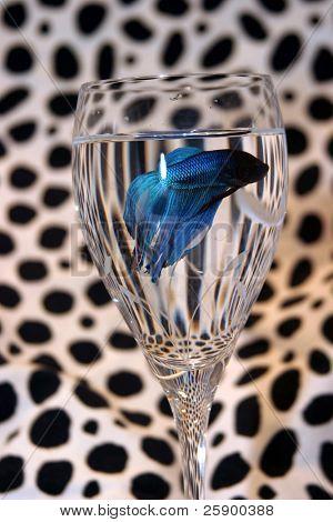 blau Beta Fisch in einem Glas Wein