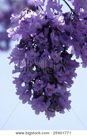 Purple Jacaranda flowers against a blue sky background