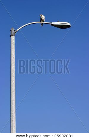 a young red tailed hawk sits on a light post looking for lunch