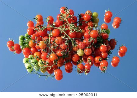 Fresh picked cherry tomatos from my garden on a mirror with a blue sky background