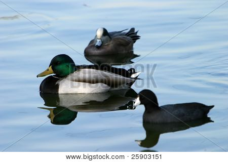 various ducks in a duck pond