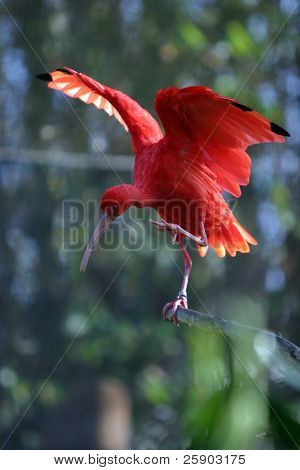 """Scarlet Ibis""  ""Eudocimus ruber"" streches its wings on a branch"