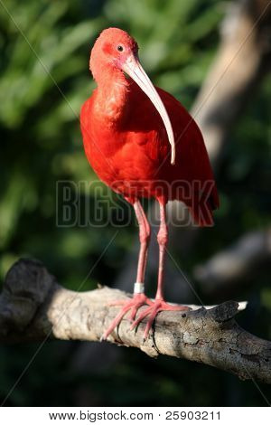 """Scarlet Ibis""  ""Eudocimus ruber"" stands on a tree branch"
