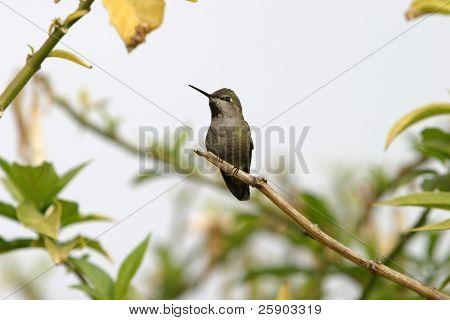 """Anna's Hummingbird """"Calypte anna"""""""