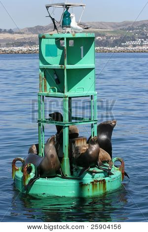 "California Sea Lions  ""Zalophus californianus"" relax and soak in the sun on a bouy in the pacific ocean"