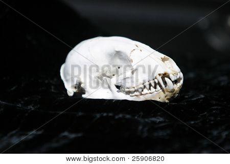 un cráneo de mamífero limpio y aún desconocido en terciopelo negro