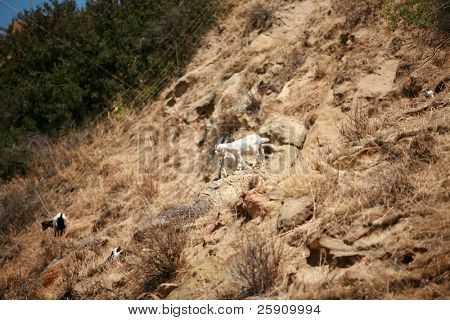 Goats hanging out on a hill