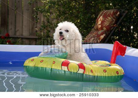 Fifi der Welt berühmten Bichon Frise befindet sich in einen heißen Sommernachmittag in ihr Float-Spielzeug Boot in ihrer person