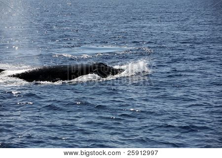 "a ""Humpback Whale"" ""Megaptera novaeangliae"" enjoys life in the warm waters of Maui in the Hawaiian island chain"