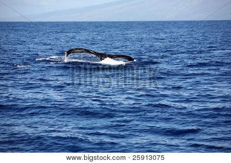 """a """"humpback whale"""" """"Megaptera novaeangliae"""" whale diving into the warm blue waters of Maui Hawaii showing off its massive tail"""