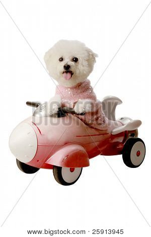Fifi the Bichon Frise enjoys a ride in her rocket ship push toy isolated on white