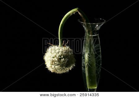 red or purple onion flower in a flower vase on black with a mirror for reflections