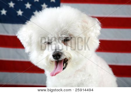 Fifi the Bichon Frise makes a funny face as she sits infront of an American Flag and on a mirror for reflections Forth of July Series