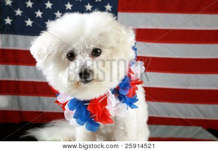 Fifi the Bichon Frise smiles and wears her forth of july hawaiian style lei as she sits infront of an American Flag and on a mirror for reflections Forth of July Series