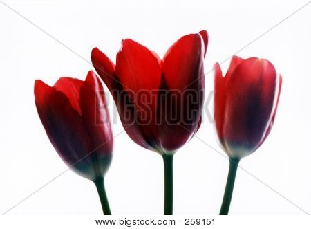 Thee Red Tulips