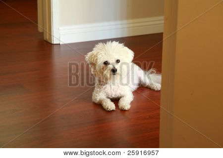 a Purbred Bichon Frise dog relaxes in her house in the morning sunlight