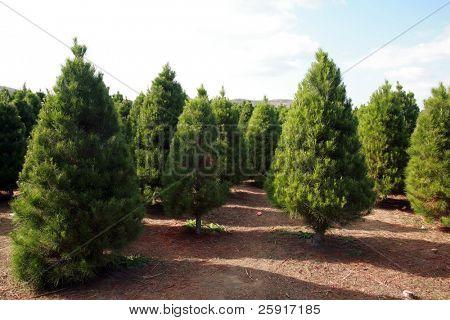 a Christmas Tree farm in southern california