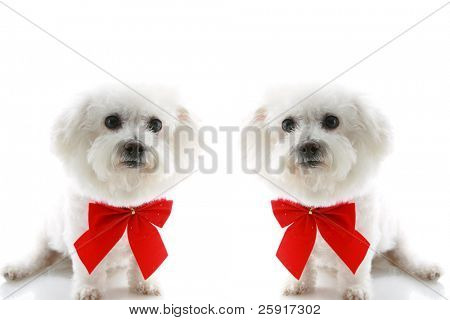 two  Pure breed Bichon Frises wear red bows with room for your text isolated on white , text is easily replaced with your text