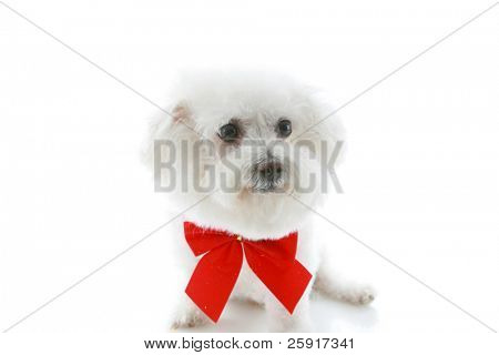 a bichon frise wears a red bow for christmas or valenties day a birthday and more, isolated on white
