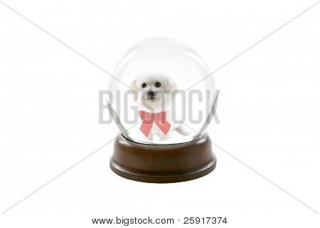 a fortune teller crystal ball, shows a ghostly image of a bichon frise dog as your future pet, isolated on white