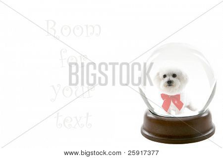 a fortune teller crystal ball, shows a ghostly image of a bichon frise dog as your future pet, isolated on white, with room for your text