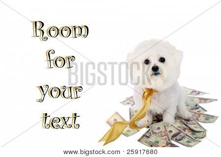 "a ""pure breed"" ""bichon frise"" with a gold bow sits on a pile of money ""isolated on white"" with ""room for text"""