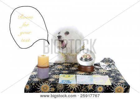 "a purebred Bichon Frise as a ""Pet Psychic"" or ""Psychic Pet"" or ""fortune teller"" predicts dog cookies in your future isolated on white with room for your text"