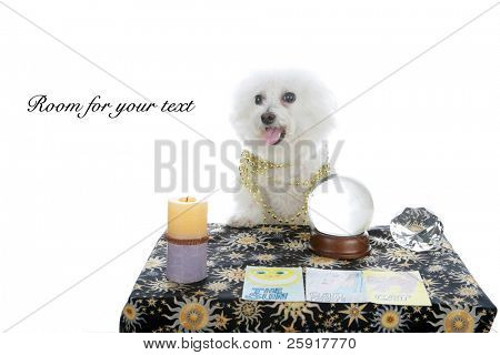 """a purebred Bichon Frise as a """"Pet Psychic"""" or """"Psychic Pet"""" or """"fortune teller"""" isolated on white with room for your text"""