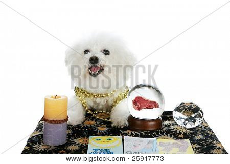 "a purebred Bichon Frise as a ""Pet Psychic"" or ""Psychic Pet"" or ""fortune teller"" sees a Steak Dinner in your future isolated on white with room for your text"