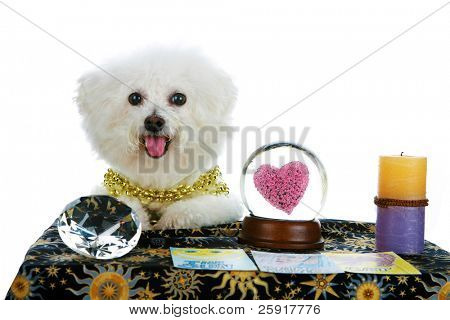 "a purebred Bichon Frise as a ""Pet Psychic"" or ""Psychic Pet"" or ""fortune teller"" sees Love in your future isolated on white with room for your text"