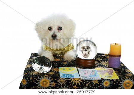 "a purebred Bichon Frise as a ""Pet Psychic"" or ""Psychic Pet"" or ""fortune teller"" sees ""Doom and Gloom"" in you future  isolated on white with room for your text"