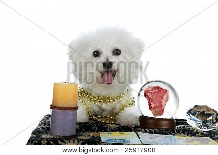 "a purebred Bichon Frise as a ""Pet Psychic"" or ""Psychic Pet"" or ""fortune teller"" sees a Steak Dinner in you future isolated on white with room for your text"
