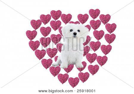 a Valentines Day Heart made from hot pink heart shaped roses isolated on white with a Bichon Frise in the center