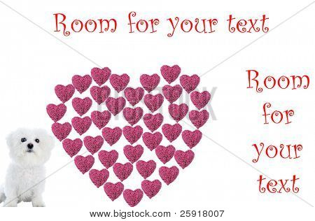 a Valentines Day Heart made from hot pink heart shaped roses isolated on white with a Bichon Frise, Image is easily removed and replaced with your text or image
