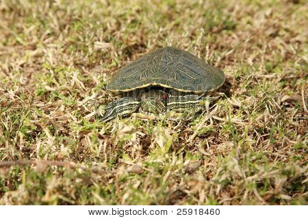 a sick red eared slider turtle in grass