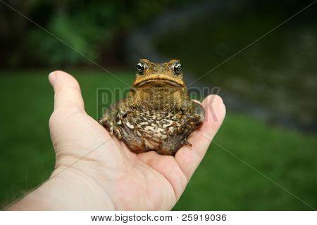"a beautiful cane toad ""Bufo marinus""  in maui hawaii"