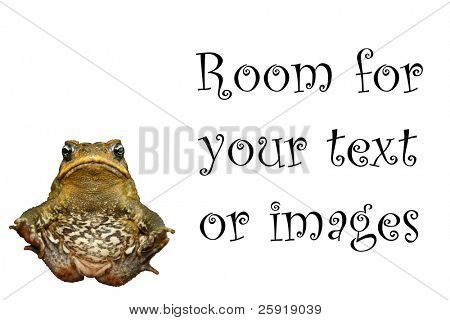 "a beautiful cane toad ""Bufo marinus""  isolated on white with room for your text or images"